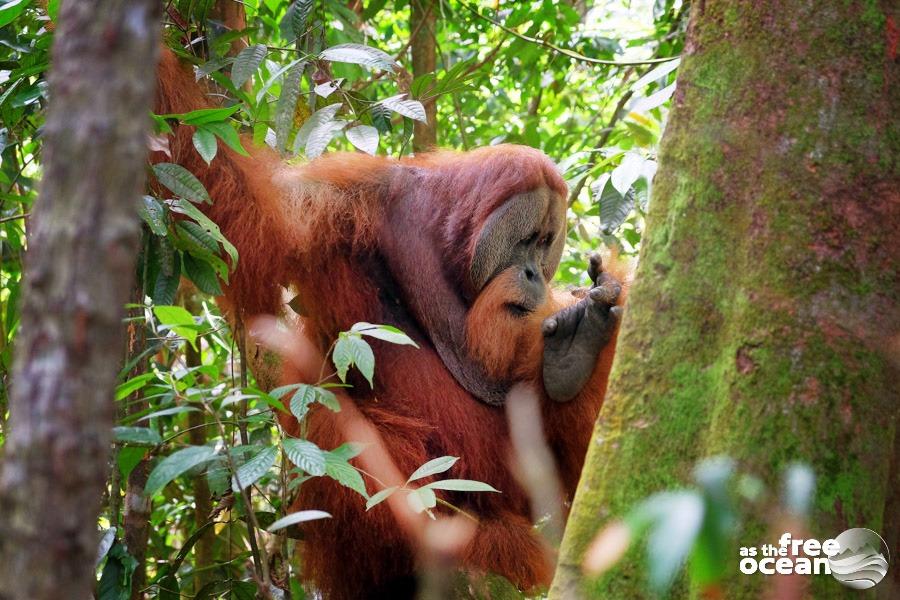 BUKIT LAWANG SUMATRA INDONESIA